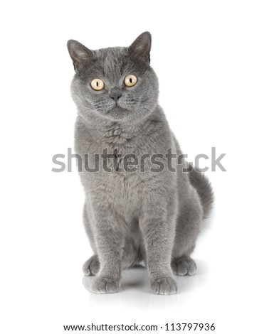 Sitting grey cat looking at you. Isolated on white background - stock photo