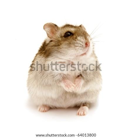 sitting hamster isolated on white - stock photo