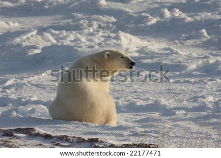 Sitting polar bear, sniffing the air, in the arctic - stock photo