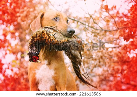 Sitting rhodesian Ridgeback holds in its mouth pheasant - stock photo
