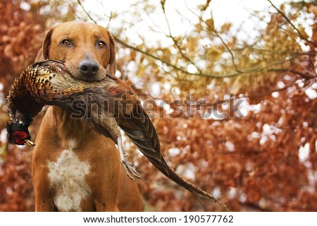 Sitting Ridgeback holds in its mouth pheasant - stock photo