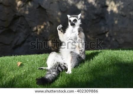 Sitting ring-tail lemur.  - stock photo