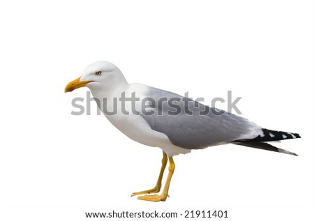 Sitting seagull isolated over white background including clipping path - stock photo
