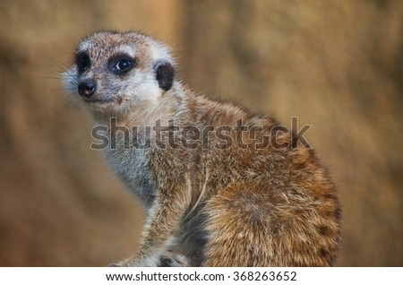sitting suricate from the zoo - stock photo
