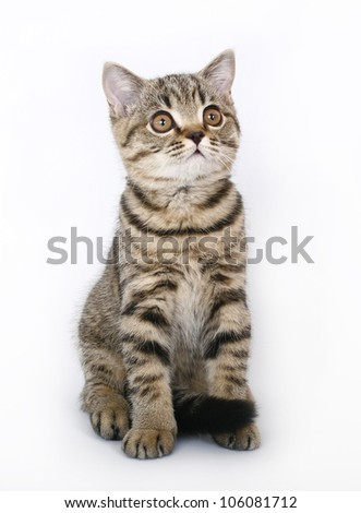 sitting tabby British kitten - stock photo