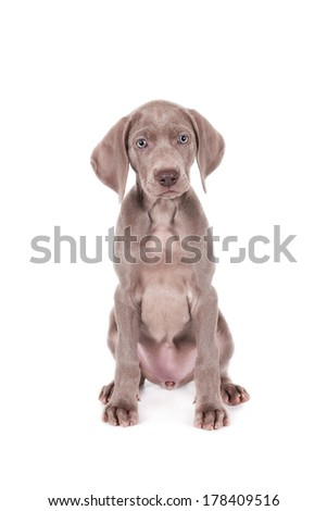Sitting Weimaraner puppy, frontal, isolated on white - stock photo