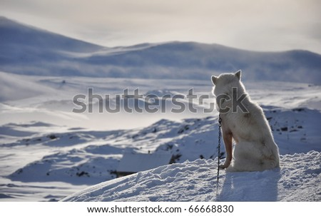 Sitting white dog in cold arctic winter, Kulusuk village, Greenland - stock photo