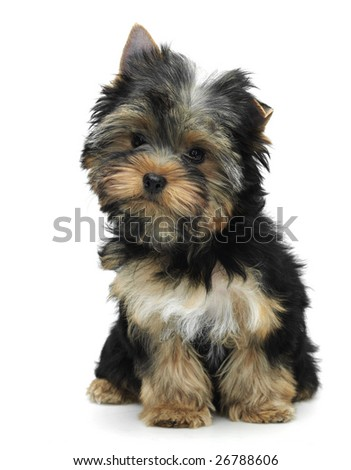 Sitting yorkshire terrier - stock photo