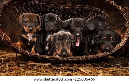 Six achshund puppies purebred in basket. - stock photo