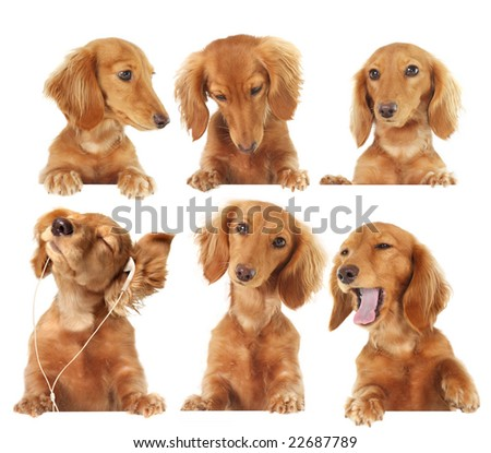 Six Dachshund puppy toppers, add your own text or product. - stock photo
