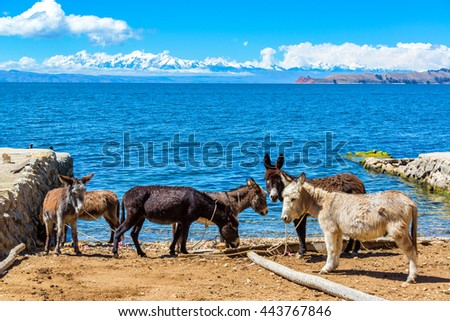 Six donkeys standing on the shore of Lake Titicaca with the Andes mountains in the background as seen on Isla del Sol, Bolivia - stock photo