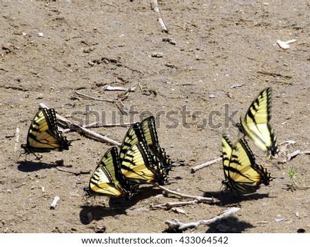 Six Eastern Tiger Swallowtail Butterflies on the banks of the Potomac River near Washington DC, April 2016 USA                                        - stock photo