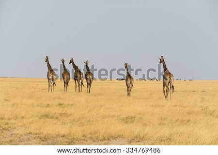Six giraffes walking. Seen and shot on self drive safari tour through national parks in namibia, africa.