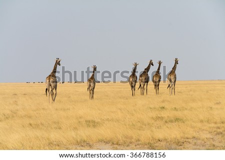 Six giraffes walking. Snamibia, africa.