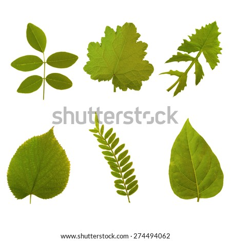 Six green leaves of summer on white background