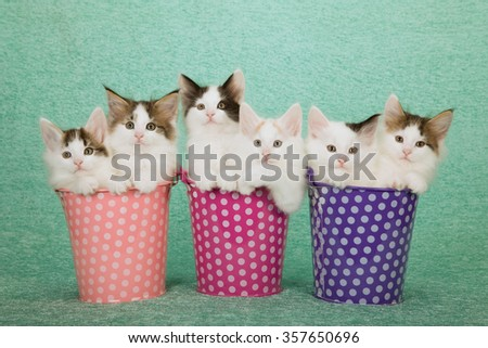 Six Norwegian Forest Cat kittens sitting inside polka dot buckets pails containers on mint green background  - stock photo