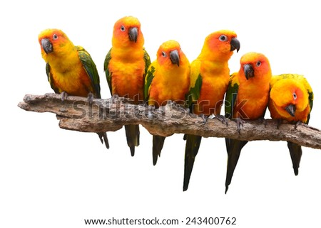 Six of Sun Conure Parrot bird perching on a branch, white background - stock photo