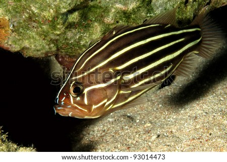 Six-striped soapfish (Grammistes sexlineatus) - stock photo