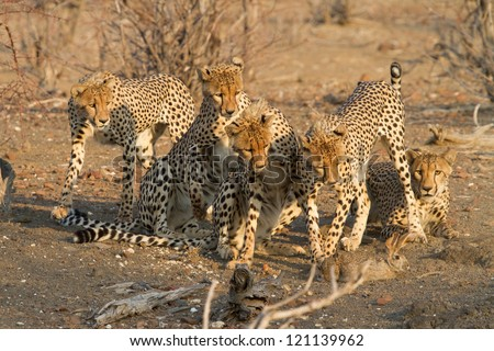 Six sub adult cheetahs catching a scrub hare - stock photo