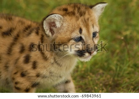 Six weeks old baby Mountain Lion - stock photo