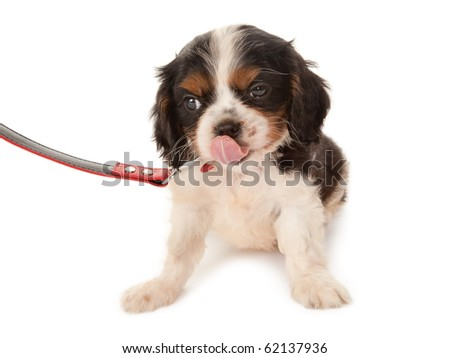 Six weeks old King Charles spaniel on a red leash - stock photo