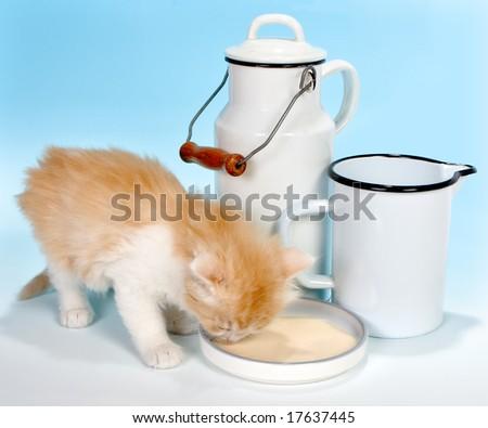 Six weeks old red kitten drinking milk - stock photo