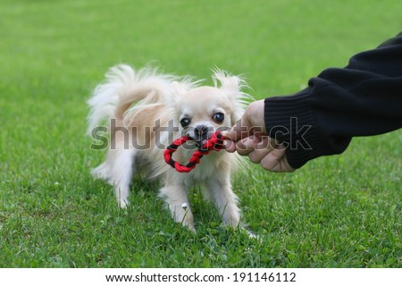 Size doesn't matter - a longhair chihuahua competing with a man in tug of war, pulling rope - stock photo