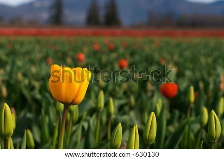 Skagit Valley Tulips, Washington State - stock photo