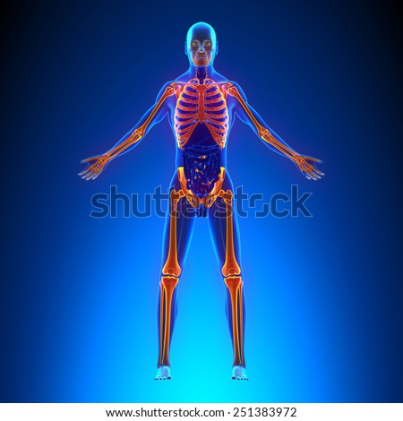 Skeleton Anatomy Pain concept - with Ciculatory System - stock photo