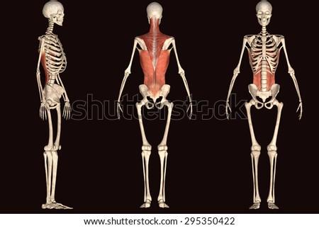 skeleton body - stock photo