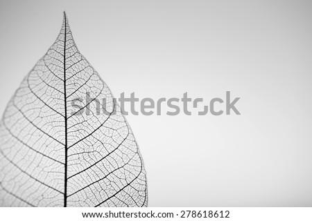 Skeleton leaf on grey background, close up - stock photo