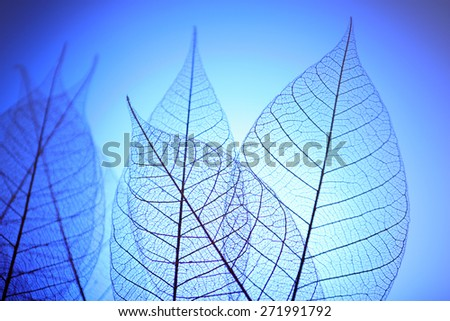Skeleton leaves on blue background, close up - stock photo
