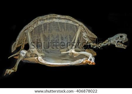 skeleton on a turtle - stock photo