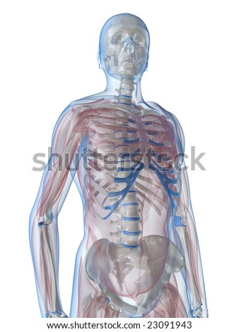 skeleton with transparent muscles