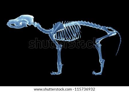 Skeleton X - ray of dog on black background - stock photo