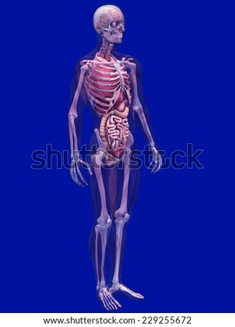 Skeleton X-Ray with Muscles and Internal Organs - X-Ray of a male skeleton with internal organs and muscles showing. 45 Degree Pose - stock photo