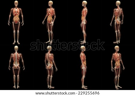 Skeleton X-Ray with Muscles and Internal Organs - X-Rays of a male skeleton with internal organs and muscles showing. Full 360 Degree Poses - stock photo