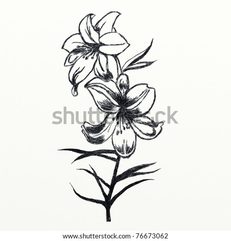 Sketch of lily flowers in black and white colors