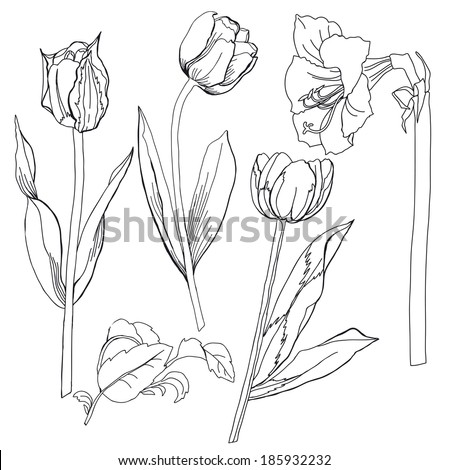 Sketch  with  with tulip and amaryllis.Raster illustration