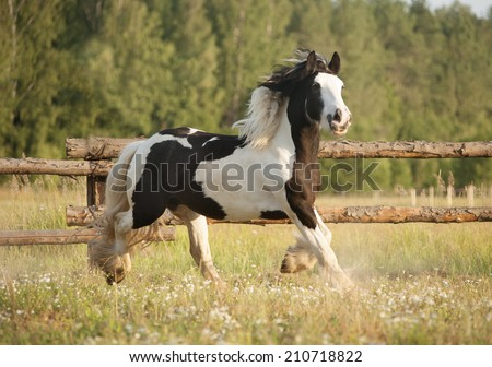 Skewbald gypsy vanner horse gallops in pasture  - stock photo