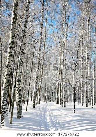 Ski run in winter birch grove - stock photo