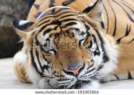 Skin Amur Tiger in the summer.