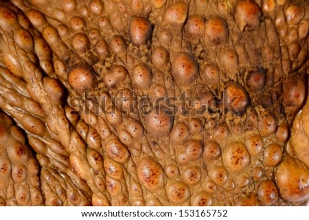 Skin close-up of the cane toad (giant marine toad) Bufo marinus - stock photo