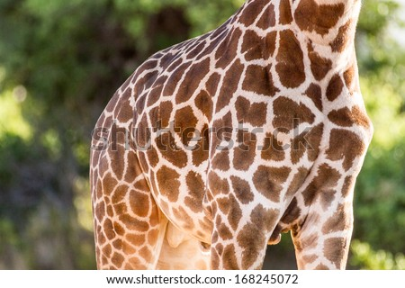 skin of giraffe in green backgound - stock photo