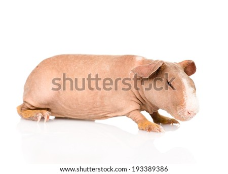 skinny guinea pig lying in profile. isolated on white background - stock photo
