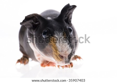 skinny guinea pig on white background - stock photo
