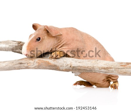 skinny guinea pig standing in profile. isolated on white background - stock photo