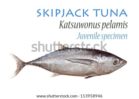 Skipjack Tuna. Unsharpened file - stock photo