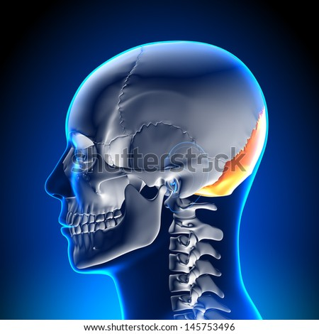 Skull / Cranium - Occipital Bone - stock photo