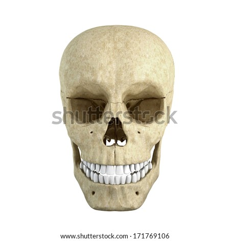 Skull isolated on white background from front side
